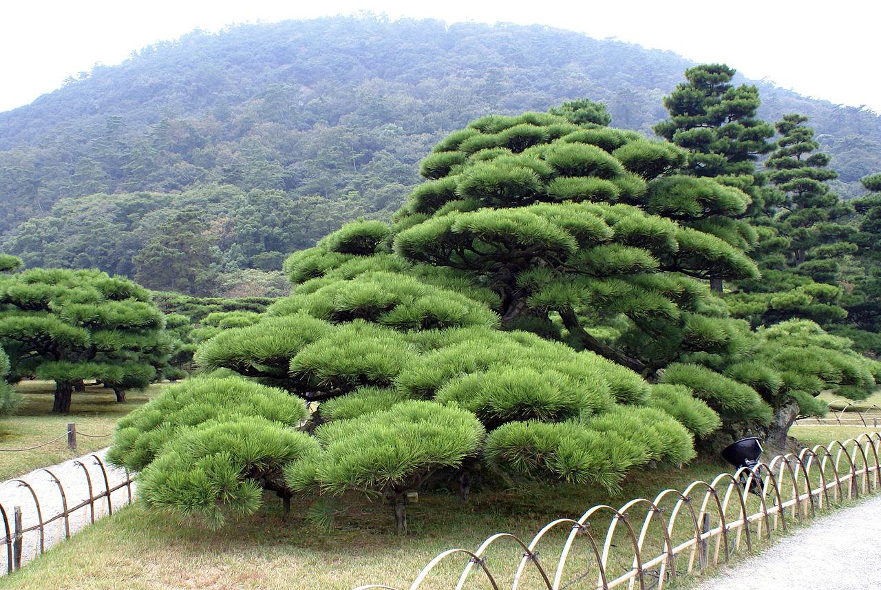 Des arbres en nuage pour un jardin zen deco fun - Comment tailler en nuage ...